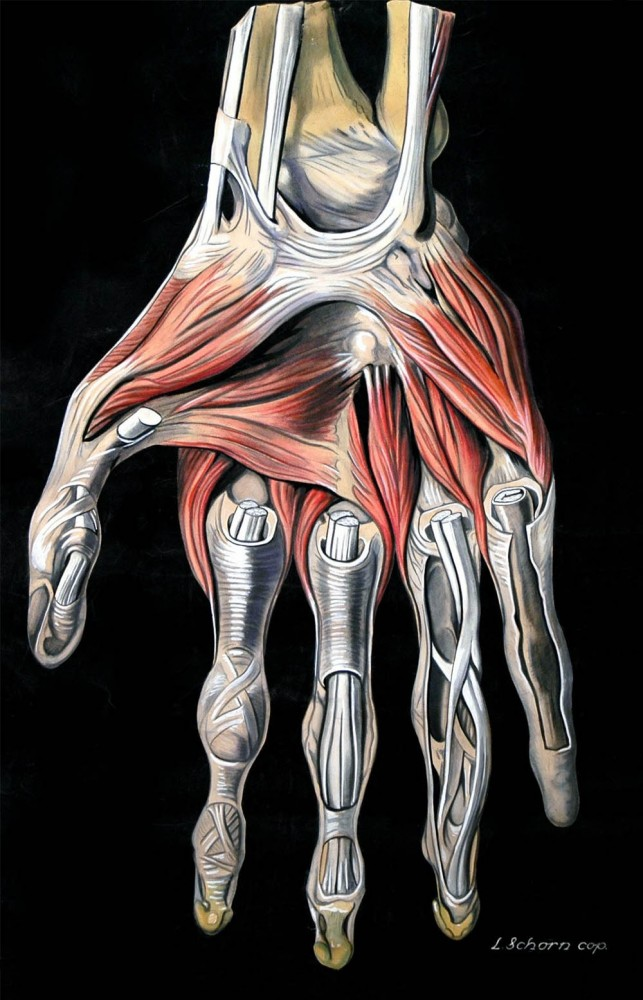Vintage medical illustration of hand musculature/Elisa Schorn, circa 1900